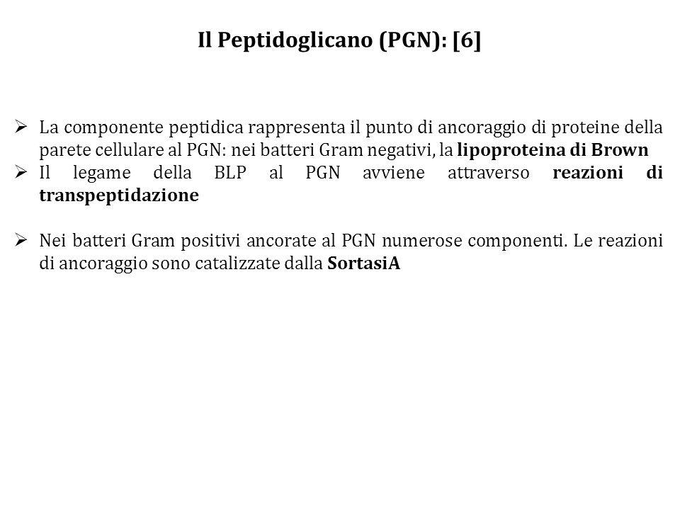 Il Peptidoglicano (PGN): [6]